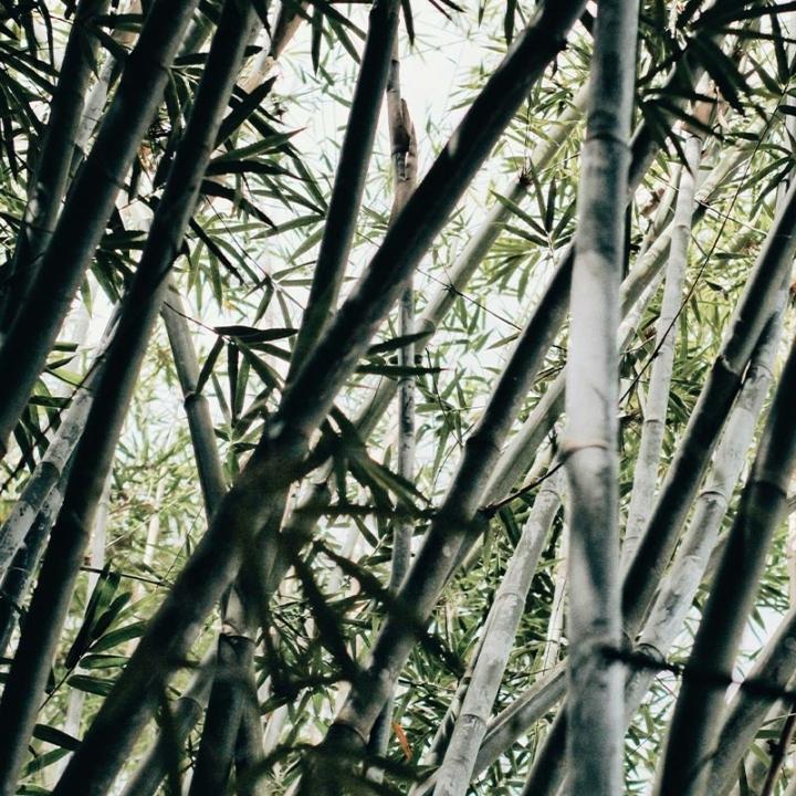 Bambu per fare la celluloide